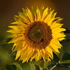 Sunflower_Apple_30102016 (42)