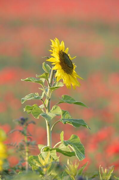 Sunflower_Apple_01112016 (54)