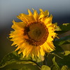 Sunflower_Apple_30102016 (30)