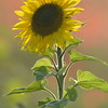 Sunflower_Apple_01112016 (111)