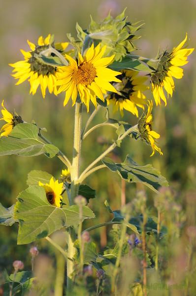SunflowerFiled_Echichens_0032