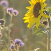 Tournesol_Facilea_Champs_Denens_Oct-2008_0008