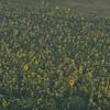 Sunflower_Apple_01112016 (5)