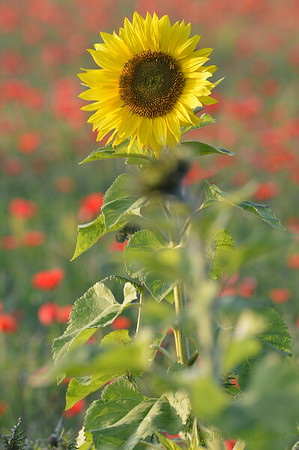 Sunflower_Apple_01112016 (51)