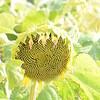 Sun_Flower_Echichens_01092013_0331