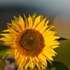 Sunflower_Apple_30102016 (65)