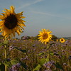 Tournesol_Facilea_Champs_Denens_Oct-2008_0017