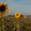Tournesol_Facilea_Champs_Denens_Oct-2008_0018