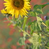 Sunflower_Apple_01112016 (34)