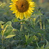 Sunflower_Apple_01112016 (25)