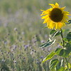 SunflowerFiled_Echichens_0013