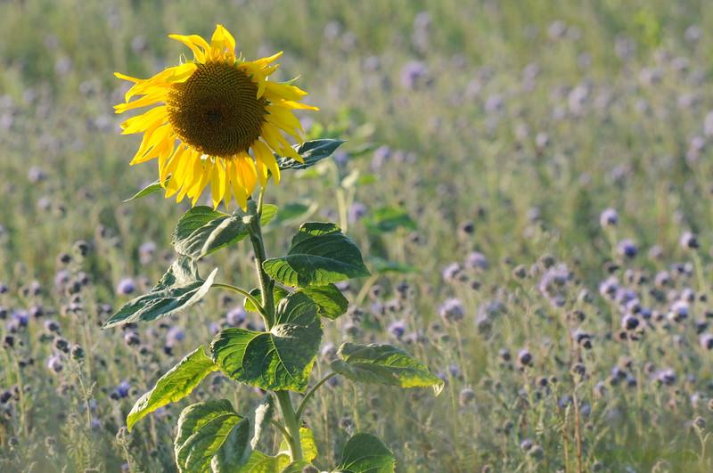 SunflowerFiled_Echichens_0011