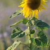 SunflowerFiled_Echichens_0027