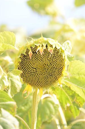 Sun_Flower_Echichens_01092013_0337