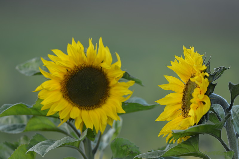 Sunflower_Apple_30102016 (6)