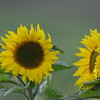 Sunflower_Apple_30102016 (6)