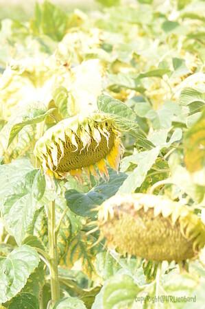 Sun_Flower_Echichens_01092013_0330