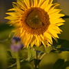 Sunflower_Apple_30102016 (51)