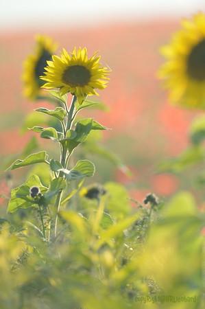 Sunflower_Apple_01112016 (104)