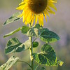 SunflowerFiled_Echichens_0029