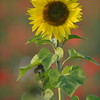 Sunflower_Apple_01112016 (22)