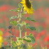 Sunflower_Apple_01112016 (44)