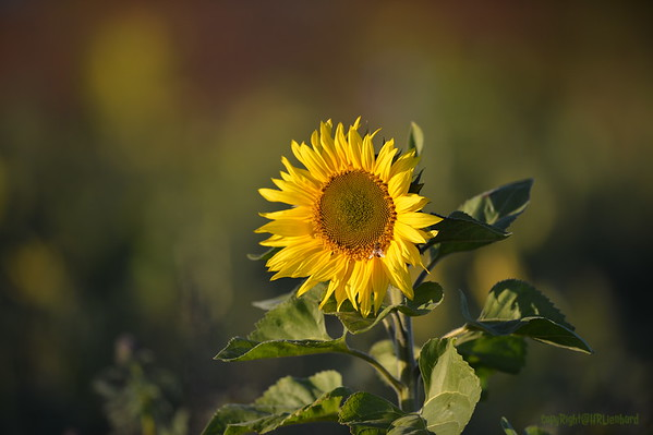 Sunflower_Apple_30102016 (67)
