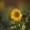 Sunflower_Apple_30102016 (67)