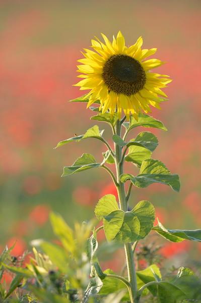 Sunflower_Apple_01112016 (65)