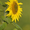 Sunflower_Apple_01112016 (120)