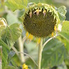 Sun_Flower_Echichens_01092013_0304