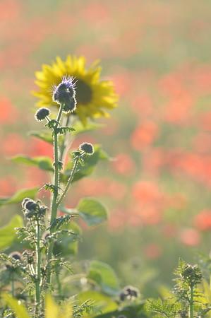 Sunflower_Apple_01112016 (89)