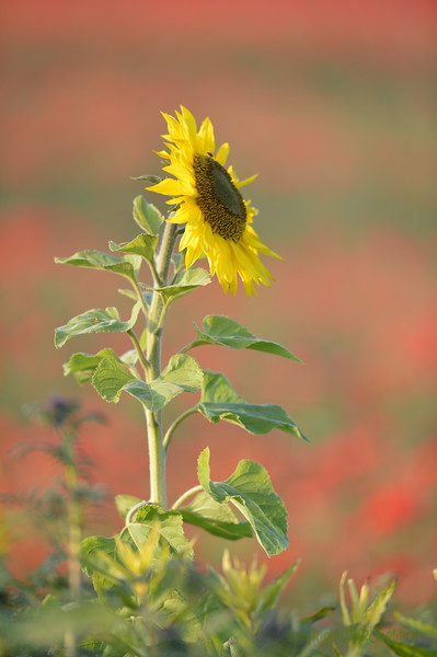 Sunflower_Apple_01112016 (57)