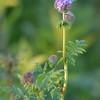 Sunflower_Apple_01112016 (11)