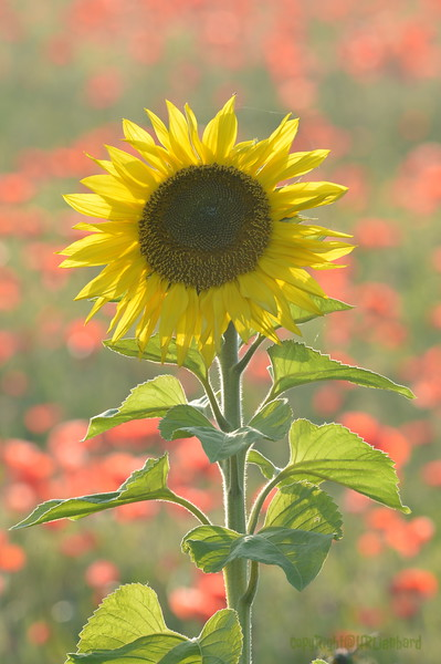 Sunflower_Apple_01112016 (96)