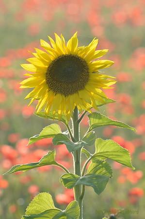 Sunflower_Apple_01112016 (96)