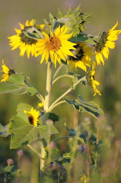 SunflowerFiled_Echichens_0031