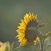 Sunflower_Apple_30102016 (35)