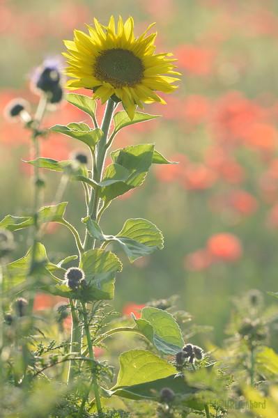 Sunflower_Apple_01112016 (83)