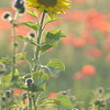 Sunflower_Apple_01112016 (83)