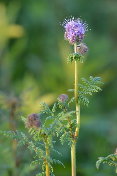 Sunflower_Apple_01112016 (13)