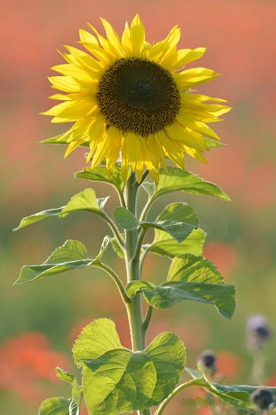 Sunflower_Apple_01112016 (73)