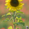 Sunflower_Apple_01112016 (73)