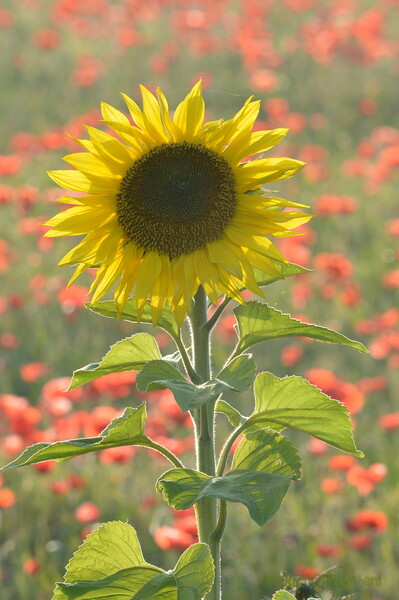 Sunflower_Apple_01112016 (97)