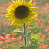Sunflower_Apple_01112016 (97)