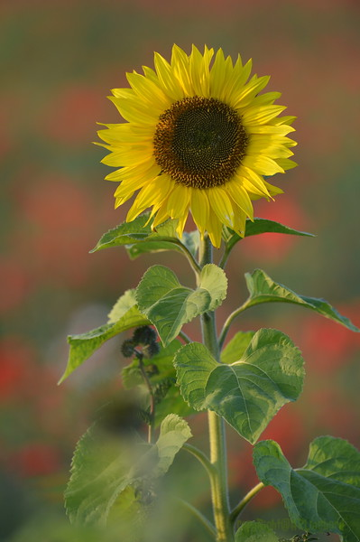 Sunflower_Apple_01112016 (18)