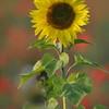 Sunflower_Apple_01112016 (18)