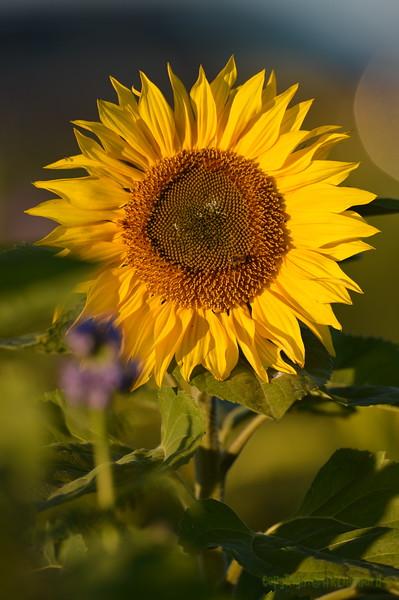 Sunflower_Apple_30102016 (53)