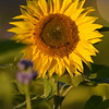 Sunflower_Apple_30102016 (53)