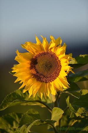 Sunflower_Apple_30102016 (27)